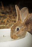 Rabbit drinking water Royalty Free Stock Images