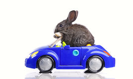 Rabbit driving a car. Rabbit driving a blue toy car (isolated on white Stock Photo
