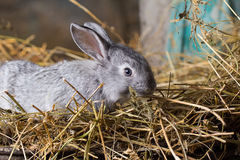 Rabbit on Dry Grass Royalty Free Stock Photography