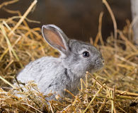 Rabbit on Dry Grass Stock Images
