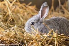 Rabbit on Dry Grass Stock Photography