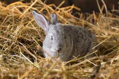 Rabbit on Dry Grass Royalty Free Stock Image