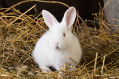 Rabbit on Dry Grass Royalty Free Stock Images