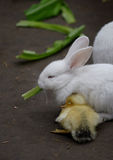Rabbit and duck Royalty Free Stock Images