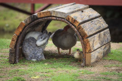 Rabbit and ducks are friend on a field. Stock Photos