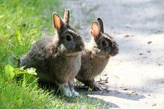 Rabbit Duo Royalty Free Stock Photos
