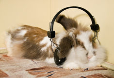 Rabbit ear. Bunny listens to music at home Stock Images