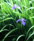 Rabbit ear iris Royalty Free Stock Photography