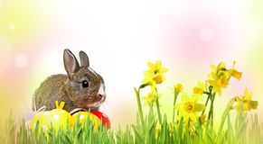 Rabbit and easter eggs isolated. Little rabbit and easter eggs isolated royalty free stock photos