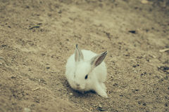 Rabbit for easter holiday ( Filtered image processed vintage eff Royalty Free Stock Photo