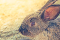 Rabbit for easter holiday ( Filtered image processed vintage eff Stock Photography