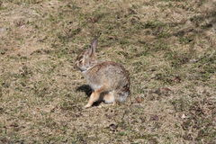 Rabbit, Eastern Cottontail Stock Images