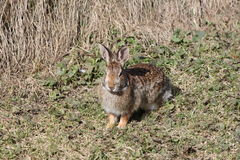 Rabbit, Eastern Cottontail Stock Photo