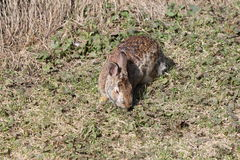 Rabbit, Eastern Cottontail Royalty Free Stock Photos