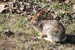 Rabbit, Eastern Cottontail Stock Photos