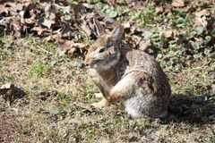 Rabbit, Eastern Cottontail Royalty Free Stock Photo