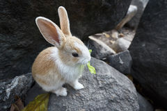 Rabbit eat lettuce on the rock Stock Photography