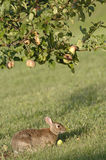 Rabbit eating an apple royalty free stock photography