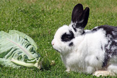 Rabbit eating cabbage Royalty Free Stock Photos
