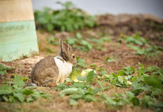 Rabbit Eating cabbage Stock Photography