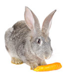 Rabbit eating carrot Stock Image