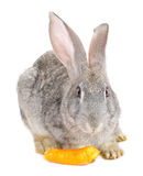 Rabbit eating carrot Stock Images