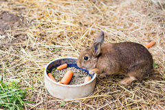 Rabbit eating carrot from food bowl Stock Image