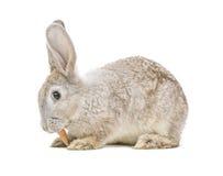 Rabbit eating carrot Stock Photos