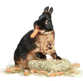 Rabbit eating carrot on a white background Royalty Free Stock Photo