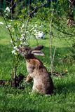 Rabbit eating flowers cherry Stock Images