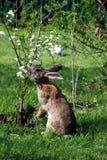 Rabbit eating flowers cherry stock images