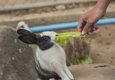 Rabbit eating food. Rabbit eating vegetables on the rocks Royalty Free Stock Photos