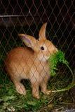 Rabbit eating grass Royalty Free Stock Photos