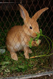 Rabbit eating grass Royalty Free Stock Image
