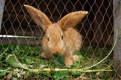 Rabbit eating grass Royalty Free Stock Images