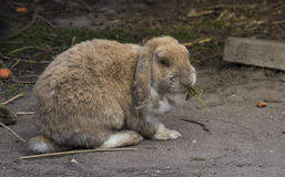 Rabbit Eating Grass Royalty Free Stock Photography