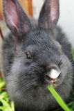 Rabbit eating grass. Royalty Free Stock Images