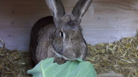 Rabbit eating a large green leaf Stock Photos