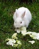 Rabbit Eating Lettuce. White rabbit with pink ears is eating lettuce on green grass stock image
