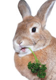 Rabbit eating parsley Stock Image
