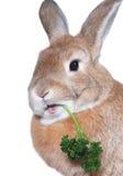 Rabbit eating parsley Stock Image