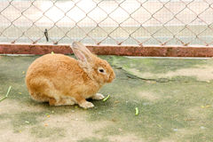 Rabbit   eating  rabbit  food Stock Image