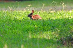 Wild rabbit enjoying grass royalty free stock images