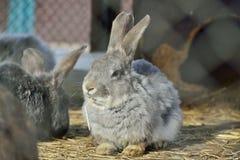 Rabbit eating straw Royalty Free Stock Image