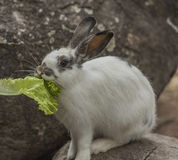 Rabbit eating vegetables. Rabbit eating vegetables on the rocks Royalty Free Stock Photo