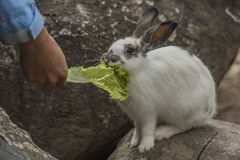Rabbit eating vegetables. Rabbit eating vegetables on the rocks Stock Photography