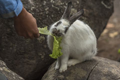 Rabbit eating vegetables. Rabbit eating vegetables on the rocks Stock Image