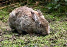 Rabbit Eating, Watchful Eyes Royalty Free Stock Photos