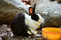 Rabbit eating water Stock Photography