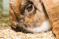 Rabbit eating wheat Royalty Free Stock Photos